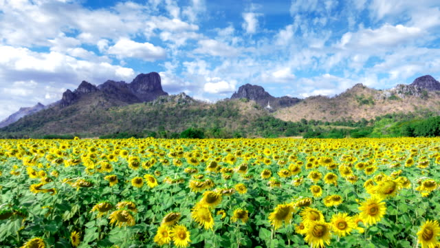Time lapse of sunflower at wat khao jeen lae, Lopburi, Thailand