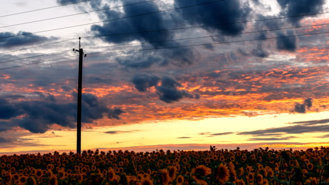 Time Lapse of the sunset above a sunflower field. video