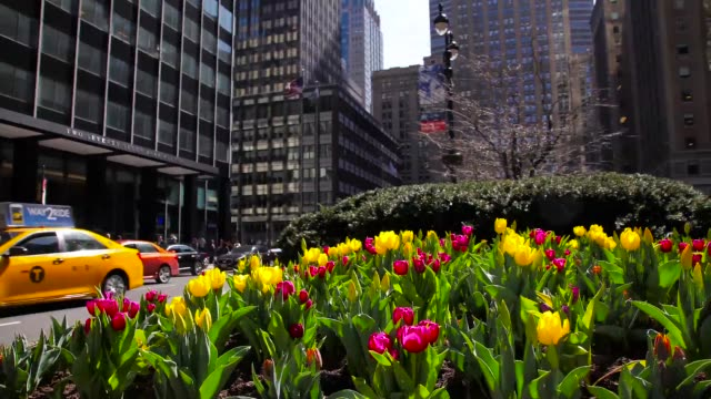 NEW YORK - MARCH 30, 2016: Time Lapse of Tulips Blooming On Park Ave in New York City Time Lapse of Tulips Blooming On Park Ave in New York City tulip stock videos & royalty-free footage