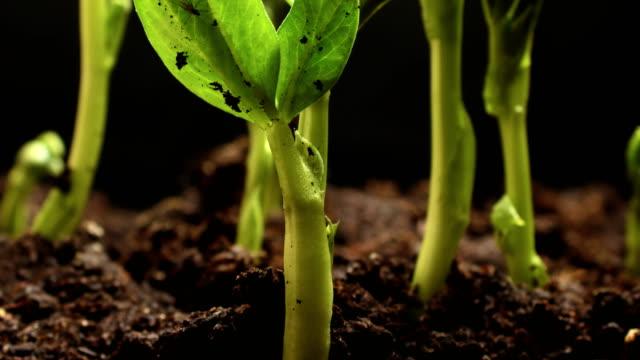stockvideo's en b-roll-footage met time-lapse van plantaardige zaden groeien of kiemen uit de grond - gecultiveerd