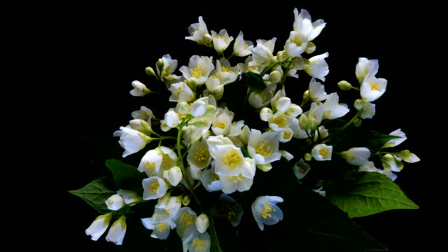 zeitraffer der weißen jasminblüten blühen auf schwarzem hintergrund, alpha-kanal - jasmin stock-videos und b-roll-filmmaterial