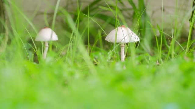 zeitraffer der weiße champignon, umwelt-konzept - speisepilz pilz stock-videos und b-roll-filmmaterial
