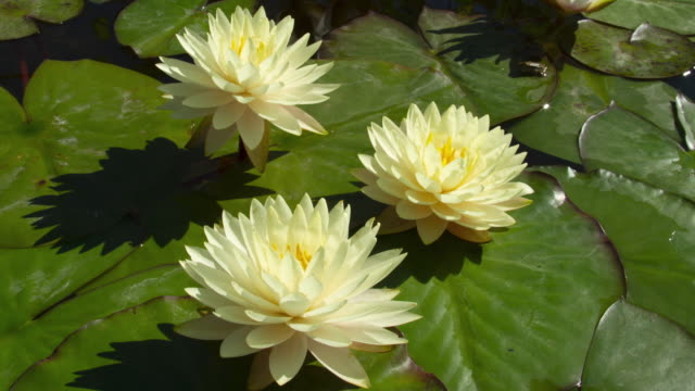 Time lapse of white water lilies flowers opening, waterlilies blooming in pond