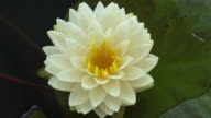 istock Time lapse of white water lily flower opening, lotus blooming in pond 1252673412