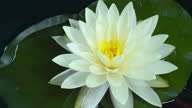 istock Time lapse of white water lily flower opening, lotus blooming in pond 1285434222