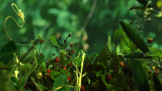 time lapse of wild strawberry in forest