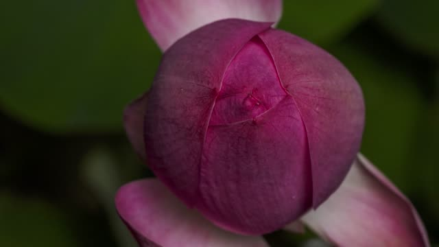 Time lapse opening of a pink lotus flower, from bud to full blossom, zoom out video, 4K version.