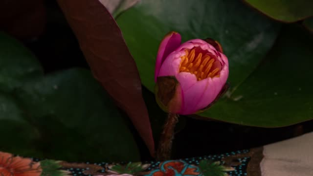 Time lapse opening of a pink lotus flower, from bud to full open