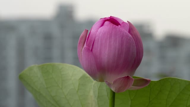 Time lapse opening of a pink lotus flower, from night to morning, 4k footage, timelapse.