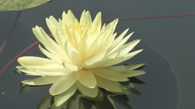 Time lapse opening of water lily flower, lotus blooming in pond video