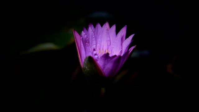 time lapse opening of water lily flower - lilia filmów i materiałów b-roll
