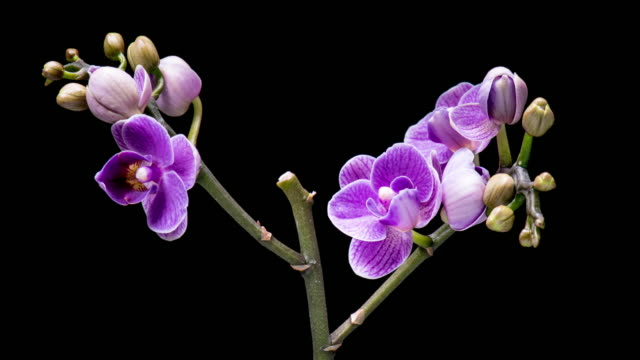 4K Time Lapse Orchid flowers