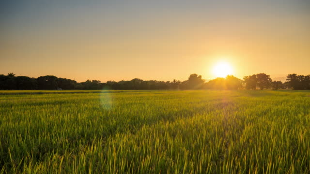 Time lapse : Panning shot rice field sunset in Chiang mai, Thailand. 4K Time lapse : Panning shot rice field sunset in Chiang mai, Thailand. rice paddy stock videos & royalty-free footage