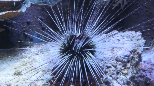 Time lapse- sea urchin crawling video