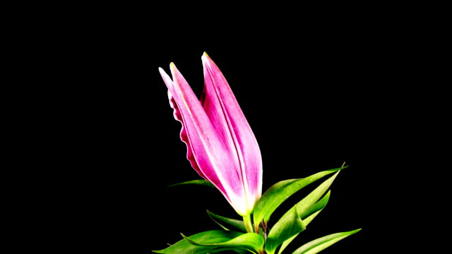 Time Lapse - Single Pink Oriental Lily Flower Blooming with Black Ground video