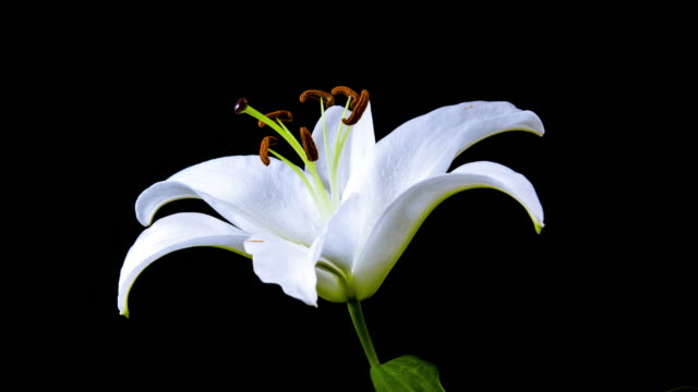 time lapse - single white lily flower blooming - 4k - fiori video stock e b–roll