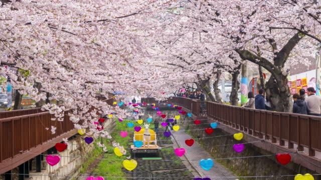 Time lapse Tourists visiting Cherry blossom at Yeojwacheon Stream, Jinhae, South Korea. video