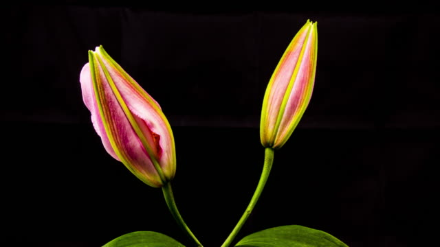 time lapse - two pink oriental lily flower blooming with black ground - 4k - stelo video stock e b–roll