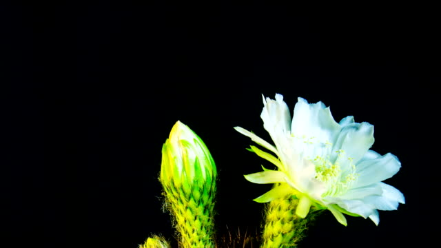 Time Lapse - Two White Echinopsis Cactus Flowers Blooming with Black Background - 4K video