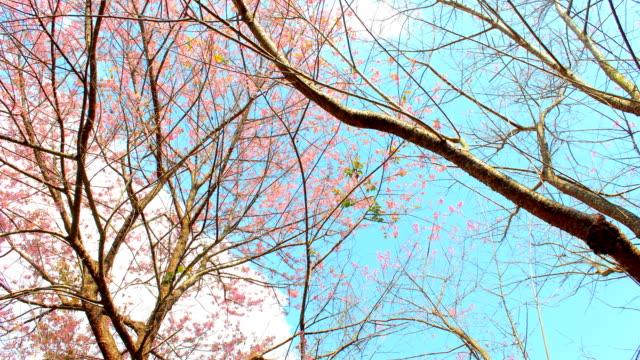time lapse Wild Himalayan Cherry blossom, Khunchangkhian mountain, Chiang Mai, Thailand