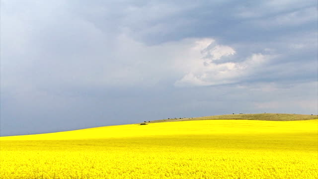 stockvideo's en b-roll-footage met time lapse with rapeseed agriculture field and storm sky clouds - bloemen storm