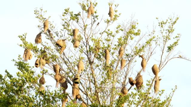 time lapse:bird nest on tree video
