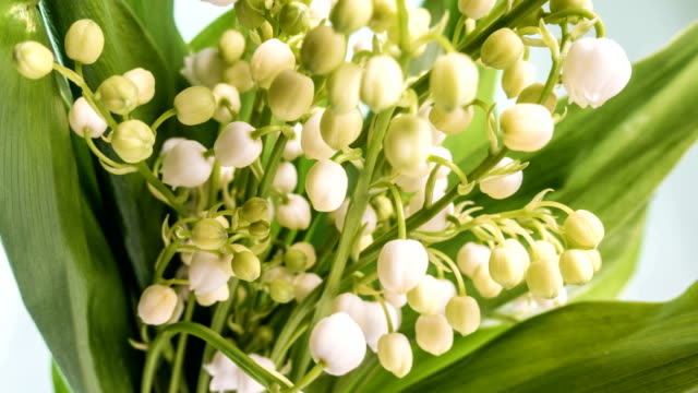 Time lapses shot of the lily of the valley video