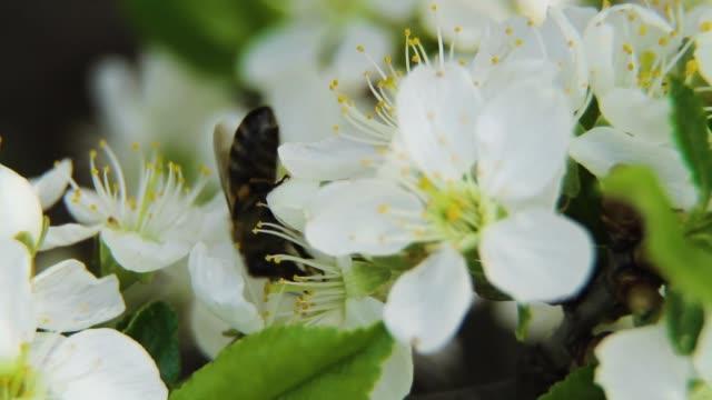 dags att samla nektar - äppelblom bildbanksvideor och videomaterial från bakom kulisserna