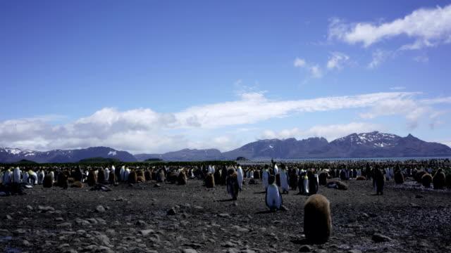 Time-lapse :Antarctica King penguin in Grytviken South Georgia