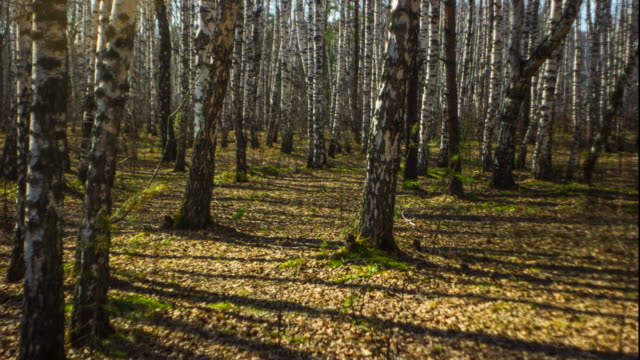 Timelapse birch forest  Full HD video