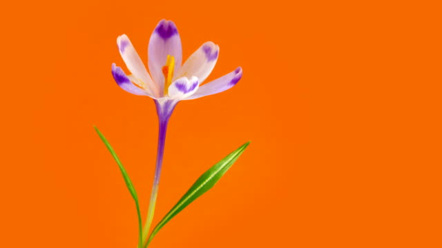 Timelapse blooming crocus with water drops. video