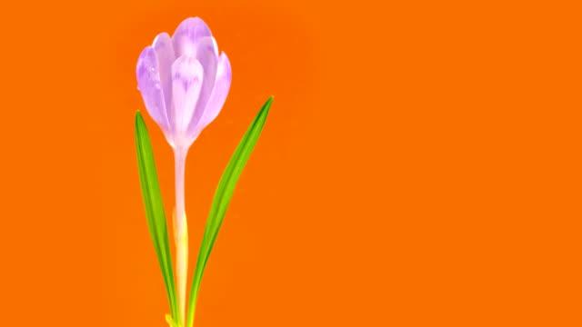 time lapse di fioriture croco con gocce d'acqua. - stame video stock e b–roll