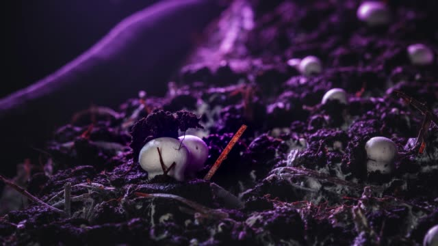 vídeos de stock e filmes b-roll de timelapse: champignon mushrooms grow in an industrial garden. fresh new mushrooms sprout from the ground. ecological cultivation of products. the birth of a new life - cogumelos