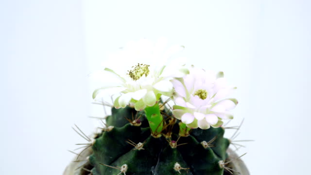 Time-lapse closing Gymnocalycium flower buds on white background.