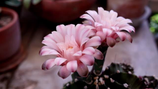 Time-lapse closing Gymnocalycium flower buds.