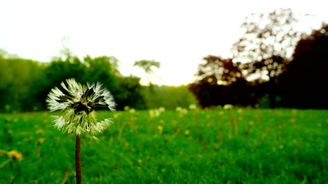 Time-lapse :Field with dandelions and blue sky - video