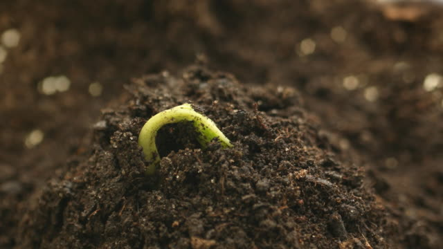 Time-Lapse, germinating plant