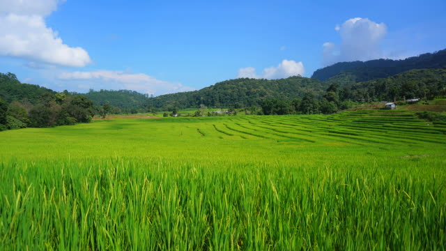 Time-lapse: Green Rice Paddy on Terraced Fields video