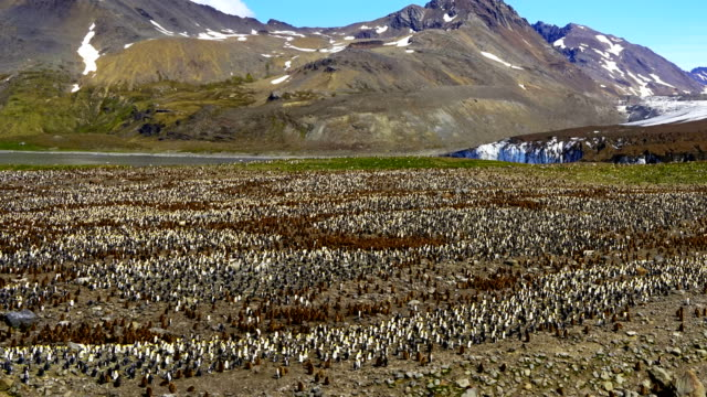 time-lapse :King Penguin Panorama time-lapse :King Penguin Panorama south georgia and the south sandwich islands stock videos & royalty-free footage