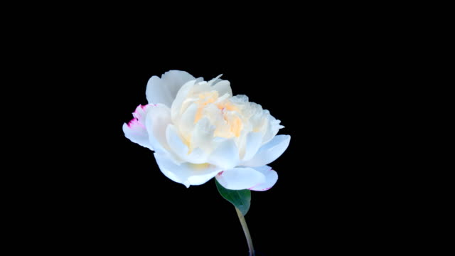 Time-lapse of a pink peony on a black background
