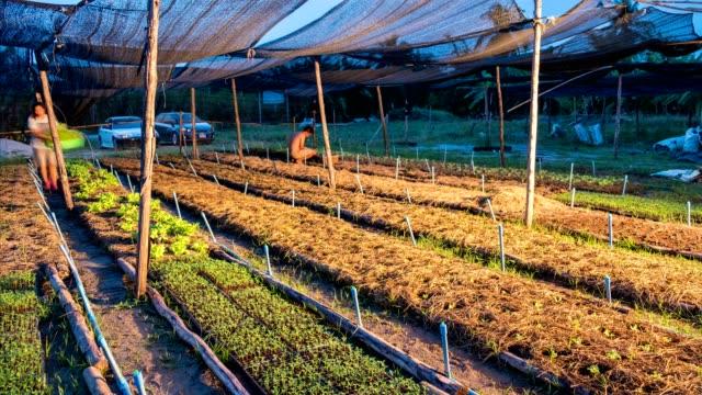 Timelapse d'agriculteur récolte chêne vert et chêne rouge en plantation - Vidéo