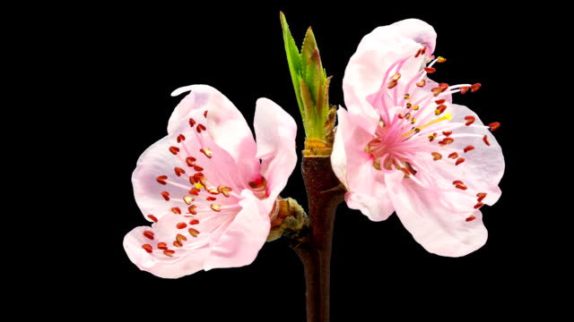 HD timelapse of an peach fruit tree flower growing of a black background. Blooming flower on chroma key background, cut out background video