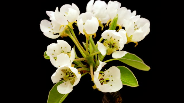 HD timelapse of an pear flower blooming of a black background. Blooming flower on chroma key background, cut out background video