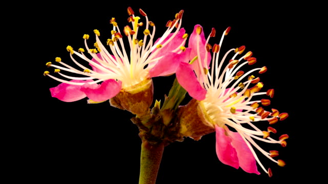 HD timelapse of an vineyard peach fruit tree flower growing of a black background. Blooming flower on chroma key background, cut out background video