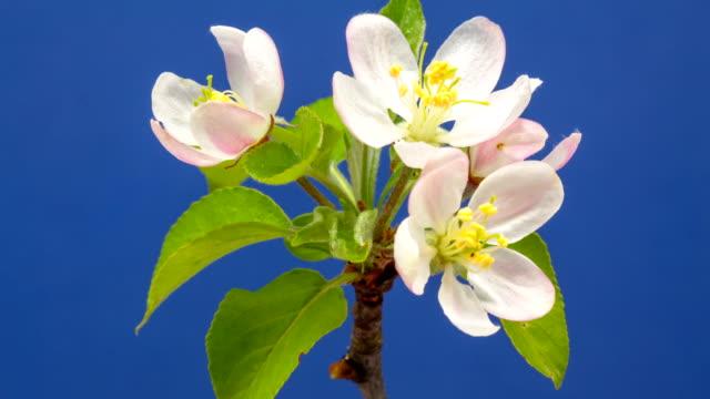 hd timelapse av en wild apple tree blomma växer av en blå bakgrund. blommande blomma på chroma key bakgrund, klipp ut bakgrunden - äppelblom bildbanksvideor och videomaterial från bakom kulisserna