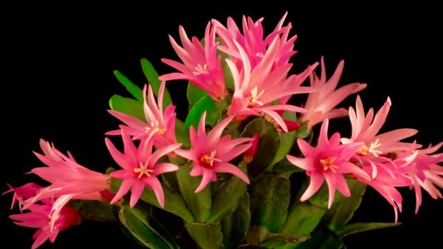 Timelapse of Blooming Cactus