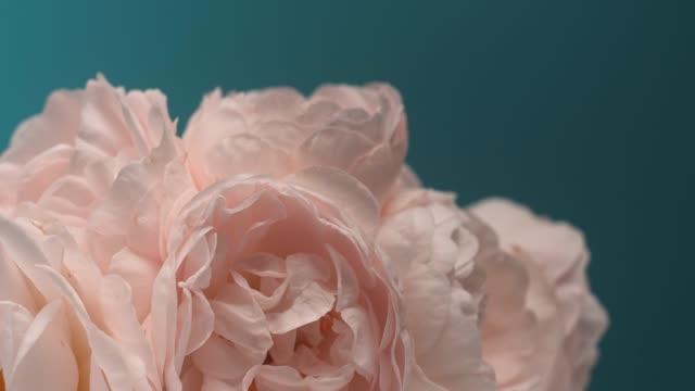 timelapse av blommande rosa pionbukett. blommor öppning bakgrund - white roses bildbanksvideor och videomaterial från bakom kulisserna