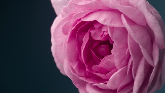 vidéos et rushes de timelapse de blooming pink peony outdoors. toile de fond d'ouverture de fleur - rose
