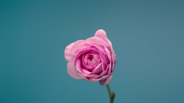Timelapse of Blooming Pink Peony Outdoors. Flower Opening Backdrop