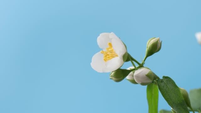 zeitraffer von blühenden weißen jasmin auf blauem hintergrund. flower opening hintergrund - jasmin stock-videos und b-roll-filmmaterial